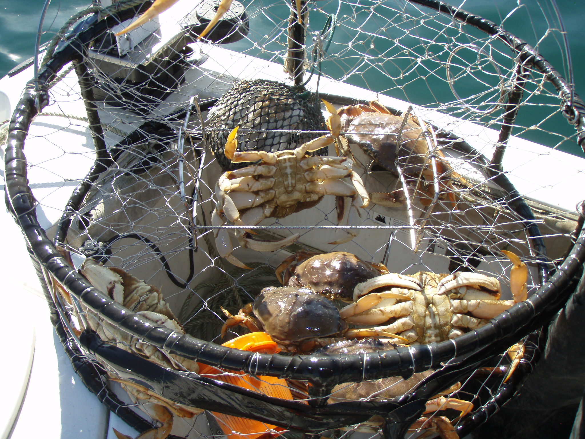 Dungeness Crabs California Department of Fish and Wildlife
