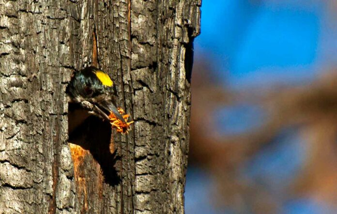 Black-backed woodpeckers